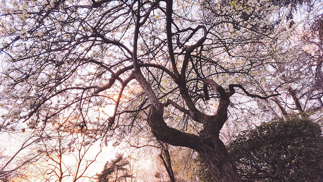 portfolio fotografico di Marianna Milione, albero di pesco in primavera
