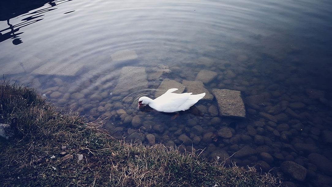 portfolio fotografico di Marianna Milione, cigno nello stagno